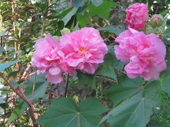 confed-rose-redu