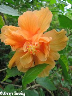 Peach Hibiscus (redu)