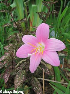 Rain Lily (redu)